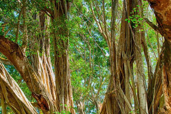 Project Banyan
